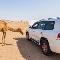 Car Camel